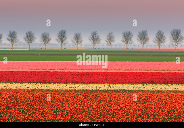 Dutch bulb and flowers fields during the spring in the Netherlands - Stock-Bilder