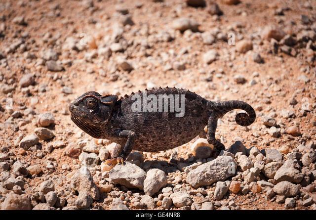 Chameleon in the desert in Namibia, Africa - Stock Image
