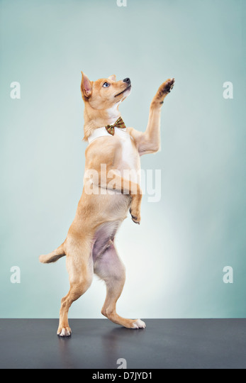 A Basenji chihuahua dog wearing bow tie and standing in studio with paw raised in greeting - Stock Image