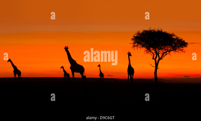 Giraffe herd at Sunrise, Masai Mara, Kenya - Stock Image