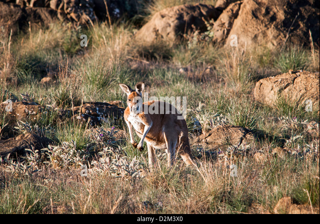 Kangaroo in the Outback - Stock Image