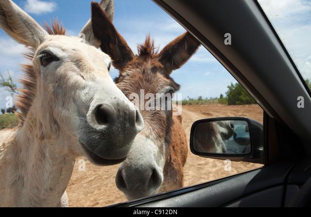 The Netherlands, Bonaire Island, Dutch Caribbean, Kralendijk, Donkey sanctuary. - Stock Image