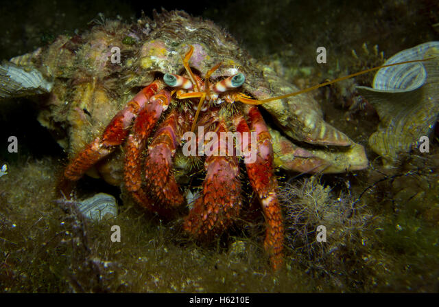 Red Hermit Crab, Dardanus calidus, from the Mediterranean Sea, Malta. - Stock Image