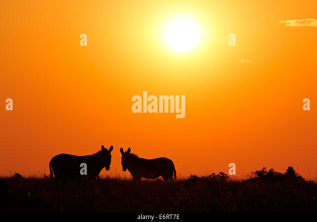 Two mountain Zebras (Equus zebra) silhouetted against a red sunrise, South Africa - Stock Image