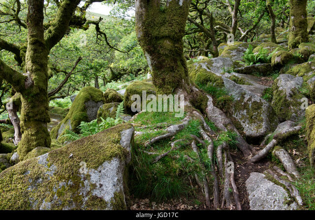 Wistman's Wood, Dartmoor, Devonshire, UK, an area of ancient oakwoods, with legends, myths and connection to - Stock Image