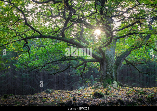 Scenic and big oak with bright sunlight at summer - Stock Image