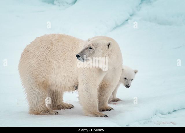 Polar Bear Mother with Cub hiding behind her, Ursus maritimus, Olgastretet Pack Ice, Spitsbergen, Svalbard Archipelago, - Stock-Bilder