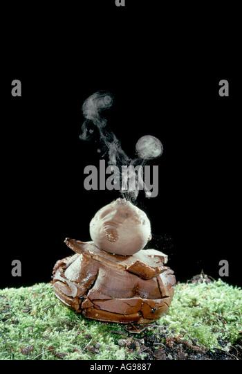 Earth star dispersing spores - Stock Image