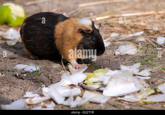Closeup brown and black guinea pig (Cavia porcellus) eating endive - Stock Image