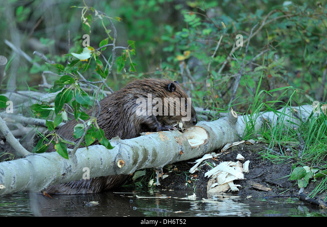 Beaver Chewing On Tree Stock Photos & Beaver Chewing On ...