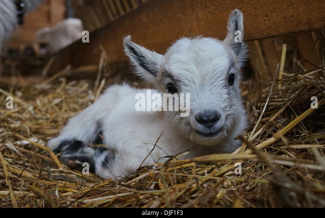 Baby Goat laying in hay - Stock Image