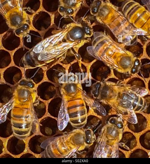 Queen bee in a hive surrounded by worker bees - Stock-Bilder