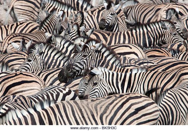 Plains zebra (Equus burchelli), crowd at waterhole, Etosha National Park, Namibia, Africa - Stock Image
