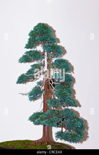 A large Chamaecyparis pisifera, Boulevard Cypress bonsai - Stock Image