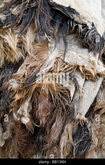 Piles of animal skins waiting to be stripped of their fur by being soaked in pigeon dung and limestone - Stock Image