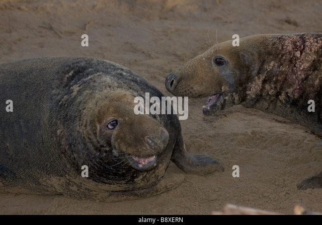 Grey Seals (Halichoerus grypus) United Kingdom - Two males engaged in territorial fight during mating season - Stock Image