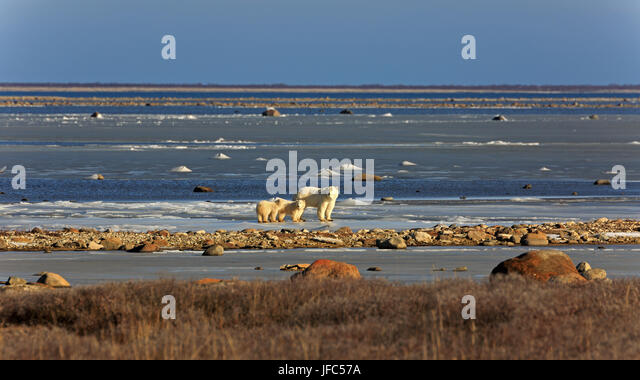 A polar bear family on the ice of the Hudson bay - Stock Image