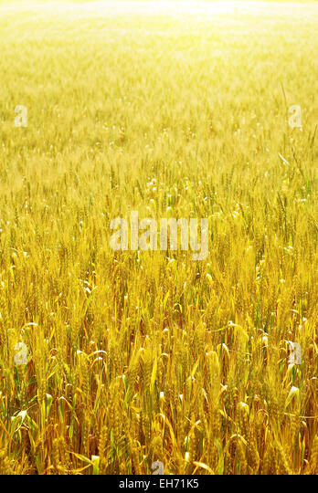 bright wheat field vertical background - Stock Image