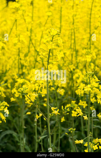 Oilseed field background. - Stock Image