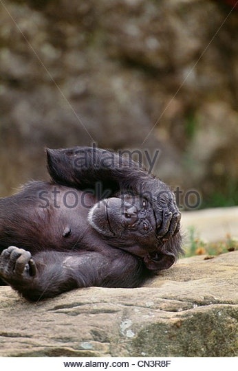 Chimpanzee laying on rock - Stock Image