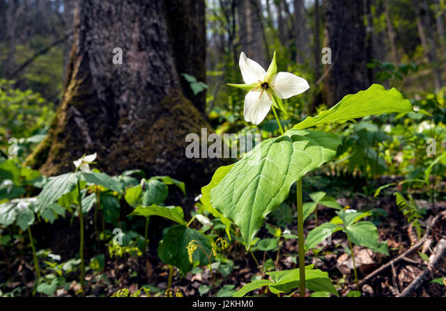 White Trillium (Normal DOF) - Holmes Educational State Forest, Hendersonville, North Carolina, USA - Stock Image