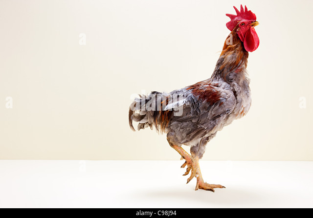 Rooster walking studio - Stock Image