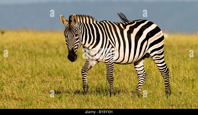 African Zebra Stallion - Stock Image