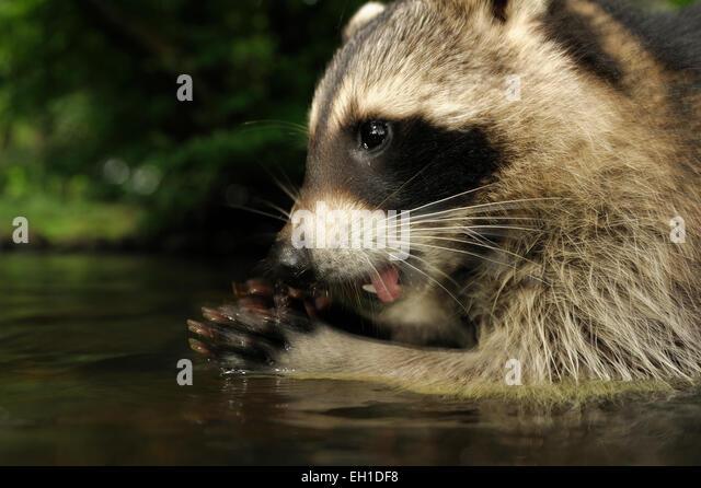 [captive] Raccoon (Procyon lotor)   Waschbär (Procyon lotor) - Stock Image