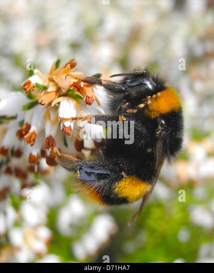 Bumble bee bumblebee on heather flower in early spring - Stock Image