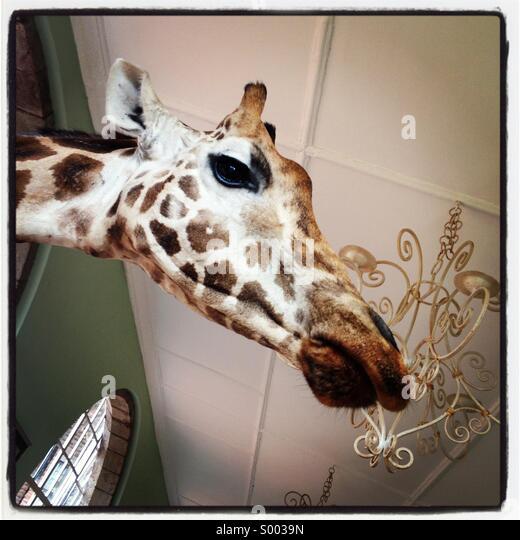 Giraffe's head - Stock Image