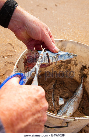 Processing the catch whilst sea angling from the beach at Seacliff, near North Berwick, East Lothian, Scotland. - Stock Image