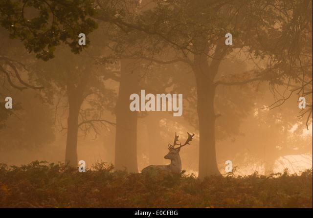 Fallow deer stag, Richmond Park, London. (Dama dama) - Stock Image
