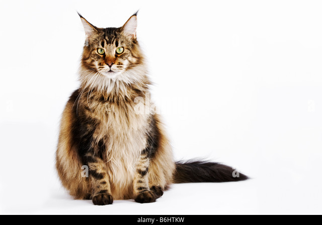 Domestic cat Brown Classic Tabby Main Coon Studio shot against white background - Stock Image