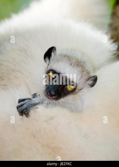 Portrait of a baby dancing Sifaka. close-up. Madagascar. An excellent illustration. - Stock Image