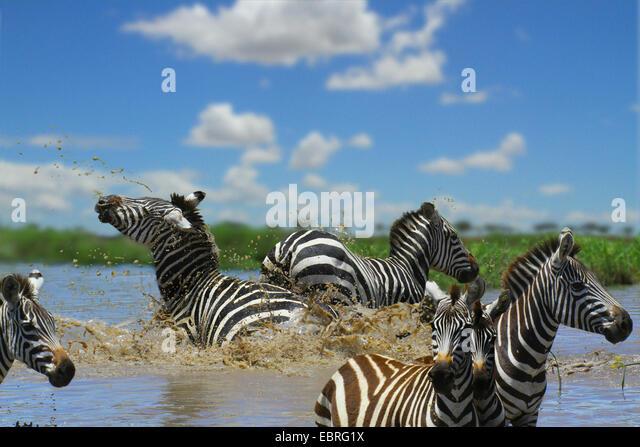 Common Zebra (Equus quagga), herd in water, fight, Tanzania, Serengeti National Park - Stock Image