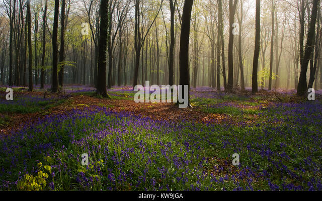 Bluebells in Beechwood - Stock Image