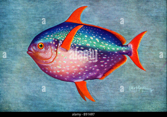 Opah, Lampris guttatus,19th century illustration by Olof Gylling (1850-1928) - Stock-Bilder