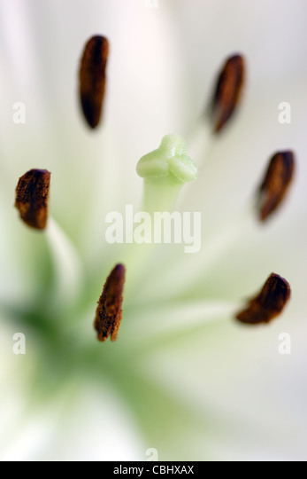 Stamens and stigma of white Lily Flower (Lilium genus) - Stock Image