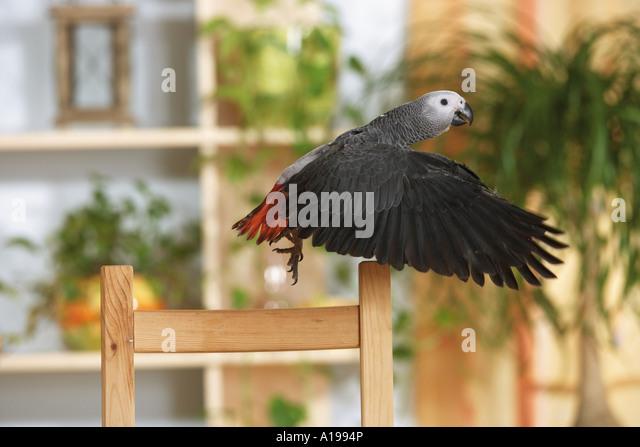 Congo African Grey parrot - flying / Psittacus erithacus - Stock-Bilder