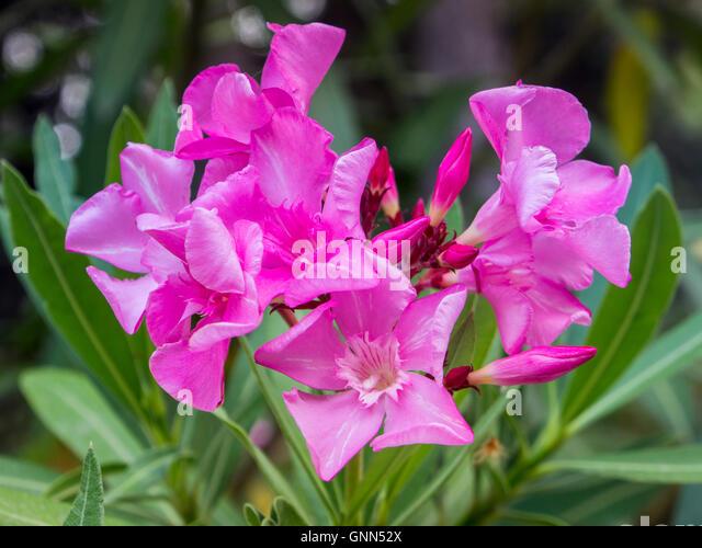 nerium oleander flower stock photos nerium oleander flower stock images alamy. Black Bedroom Furniture Sets. Home Design Ideas