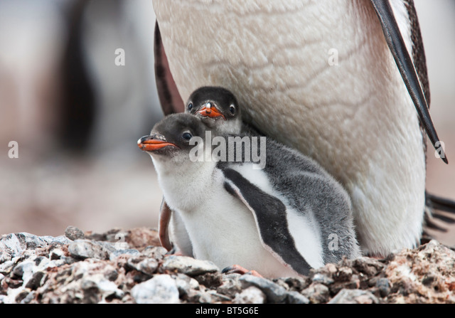 Gentoo penguin adult and chicks, Port Lockroy, western Antarctic Peninsula. - Stock Image