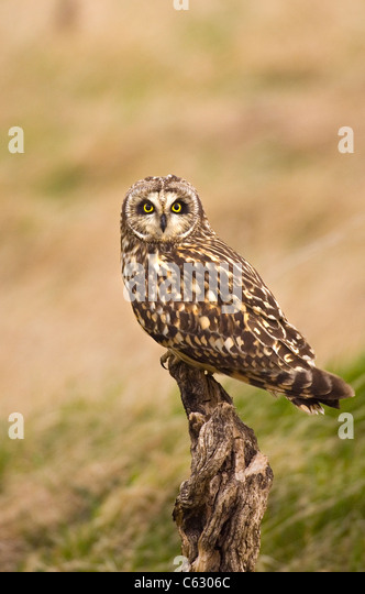 SHORT-EARED OWL Asio flammeus  An adult perched on an old stump  North Wales, UK - Stock-Bilder