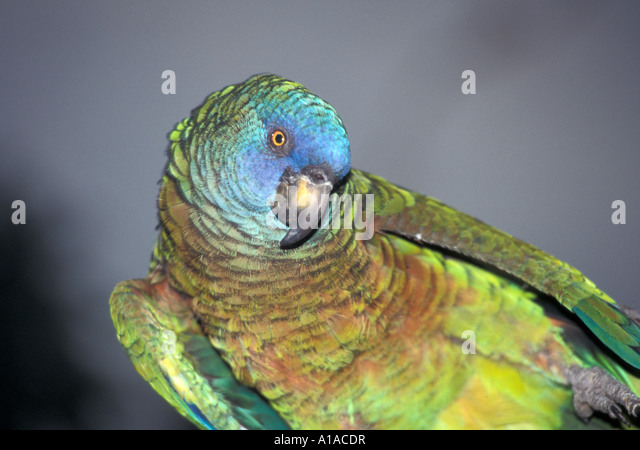 St Lucia  st lucian  parrot - Stock Image