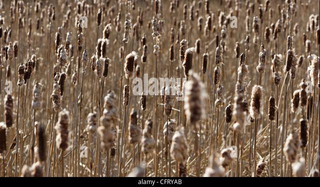 Brown Cattail for background texture - Stock-Bilder