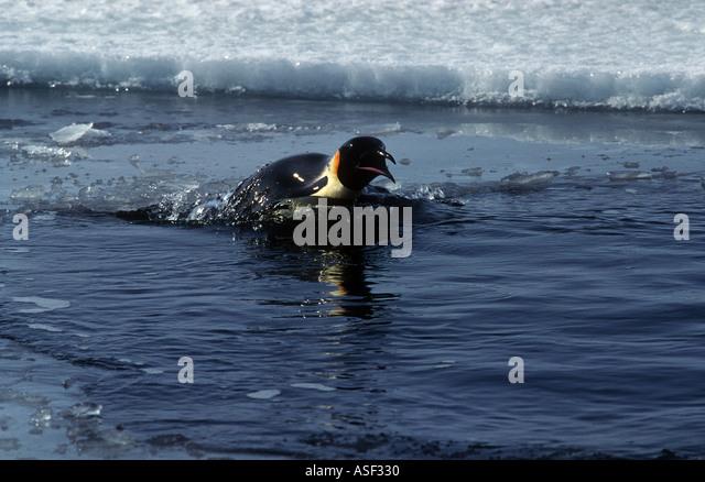 Emperor penguin Aptenodytes forsteri surfacing to breathe between dives porpoising Sea ice McMurdo Sound Antarctica - Stock Image