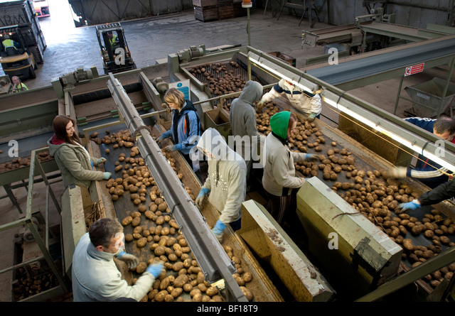 Migrant workers sort potatoes on a Lincolnshire farm, UK - Stock Image