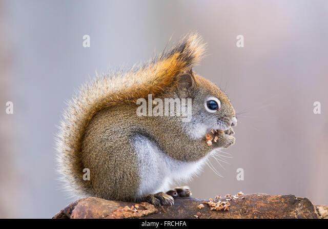American red squirrel in autumn light (Tamiasciurus hudsonicus) - Stock Image