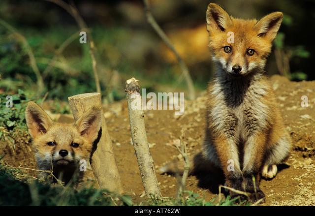 Red Fox Vulpes vulpes young at den Oberaegeri Switzerland May 1997 - Stock Image