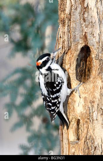 Hairy Woodpecker - Stock-Bilder