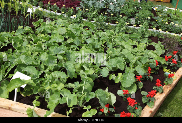 Parsnip bed in vegetable plot laid out as White House vegetable garden Bloom 2009 - Stock Image